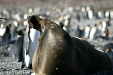 Free Seal Yawning On The Beach Full Of Penguins Stock Images - 15006624