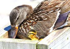 Mallard With Ducklings Stock Image
