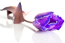 Violet Tulip Isolated Stock Photos