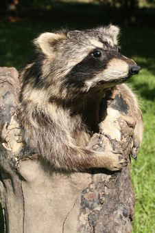 Free Raccoon Taxidermy Stock Images - 15008924
