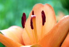 Free Lilium Lily Orange Royalty Free Stock Photo - 15009215