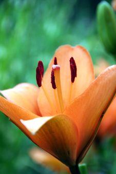 Lilium Lily Orange Stock Photos