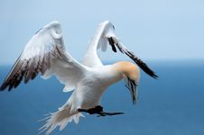 Northern Gannet Landing Royalty Free Stock Images