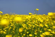 Free Yellow Field Flowers Stock Image - 15010211