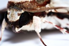 Free Moth Portrait Royalty Free Stock Image - 15010326