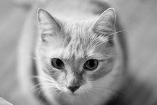 Grayscale Cat Stock Image