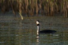 Free Great Crested Grebe Stock Photos - 15012153