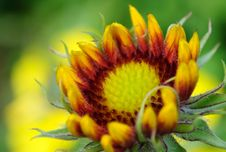 Free Budding Coneflower Stock Photo - 15012980