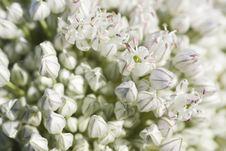 Garlic Flower Royalty Free Stock Image