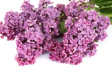 Free Lilac Stock Photos - 15013223