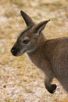 Free Kangaroo Stock Photo - 15013290