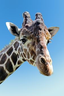 Free Giraffe Stock Photos - 15013413