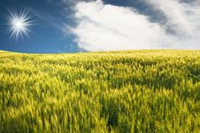 Free Green Wheat By Summer. Royalty Free Stock Images - 15013699