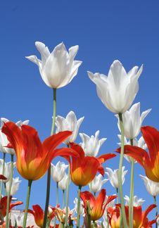 Free White And Orange Tulips Stock Photos - 15014103