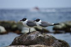 Free Two Seagulls On A Rock Royalty Free Stock Photography - 15014797