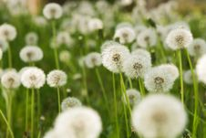 Dandelion On Green Grass Background Stock Photo