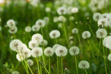 Dandelion On Green Grass Background Royalty Free Stock Images