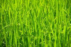 Free Rice Grown Royalty Free Stock Photo - 15015095