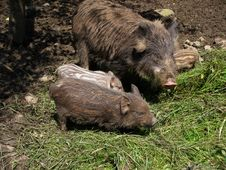 Wild Pig With Pigs Royalty Free Stock Photo