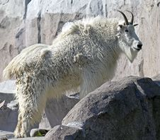 Free Rocky Mountain Goat 7 Stock Photo - 15015430