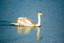 Free Young Swan Royalty Free Stock Image - 15015876