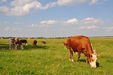 Free Cows On A Summer Meadow. Stock Photos - 15015903