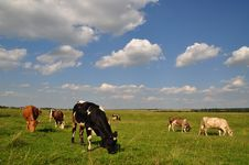 Free Cows On A Summer Meadow. Royalty Free Stock Images - 15015919