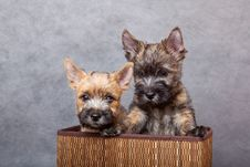 Free Cairn-terrier Royalty Free Stock Images - 15016519