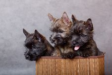 Free Cairn-terrier Royalty Free Stock Image - 15016536