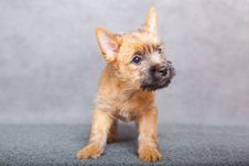 Free Cairn-terrier Stock Images - 15016544