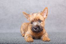 Free Cairn-terrier Royalty Free Stock Photos - 15016548
