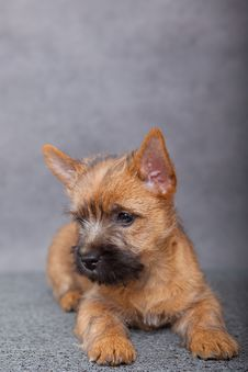 Free Cairn-terrier Royalty Free Stock Images - 15016559