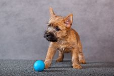 Free Cairn-terrier Stock Photography - 15016582