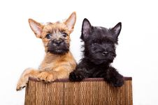 Free Two Puppy In Basket. Stock Photo - 15016610