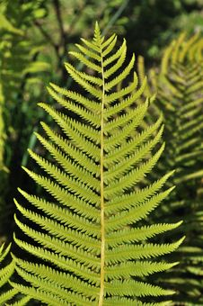 Free Green Leaf Of Fern Royalty Free Stock Images - 15017189