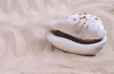 Free Sea Shell Stock Photography - 15017622
