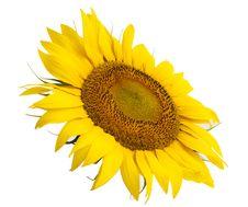 Sunflower Flower