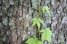 Free Vine On Tree Royalty Free Stock Photography - 15019157