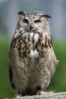 Free European Eagle Owl Stock Photos - 15019413