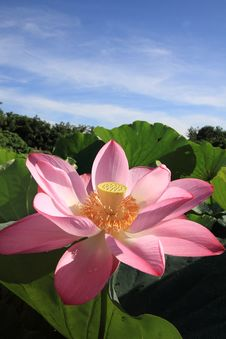 A Pink Lotus Under Blue Sky Royalty Free Stock Photo