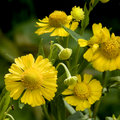 Free Vibrant Yellow Flowers Royalty Free Stock Photography - 15021207