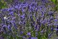 Free Lavender Field Stock Image - 15021991