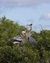 Free Great Blue Heron Royalty Free Stock Photo - 15024975
