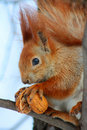 Free Red Squirrel On The Tree Royalty Free Stock Photo - 15028685