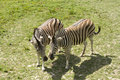 Free Two Zebras Royalty Free Stock Image - 15029236