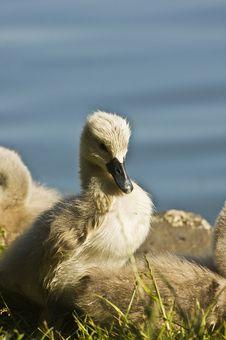 Free Baby Swan Stock Image - 15021451