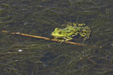 Free Bullfrog Among Waterplants Stock Photo - 15021700