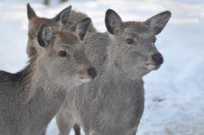 Free Deer Royalty Free Stock Photo - 15021725