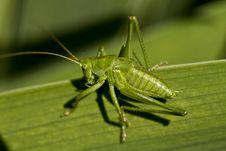 Free Grasshopper On The Grass Stock Photo - 15022100