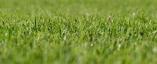 Free Green Grass Royalty Free Stock Photography - 15023687